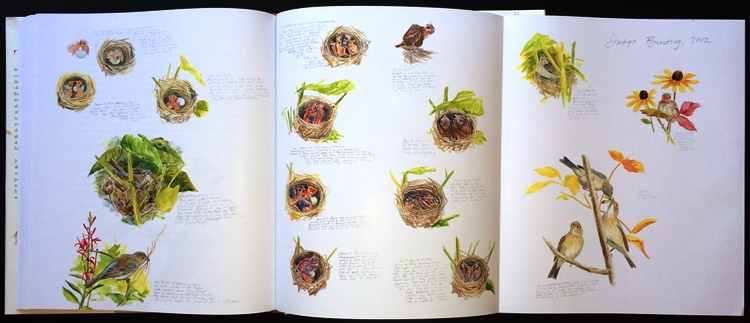 Indigo Bunting nestling progression foldout from Baby Birds: An Artist Looks into the Nest