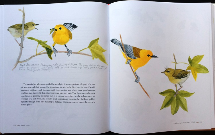 Prothonotary Warbler fledgling from Baby Birds: An Artist Looks into the Nest