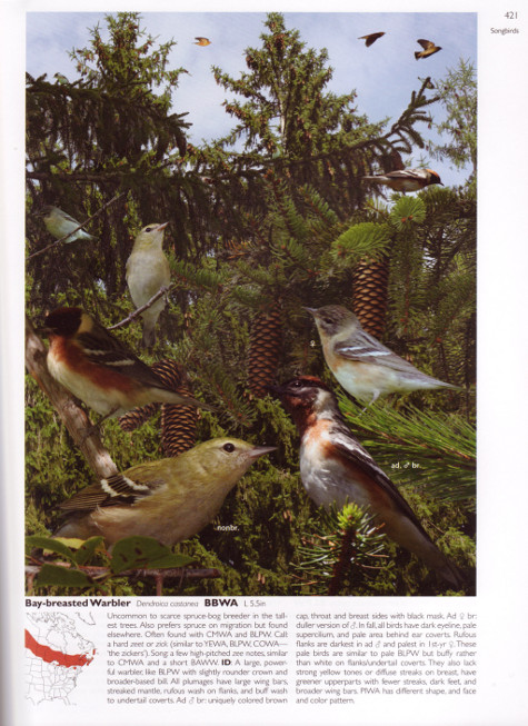 Bay-breasted Warbler account from The Crossley ID Guide: Eastern Birds