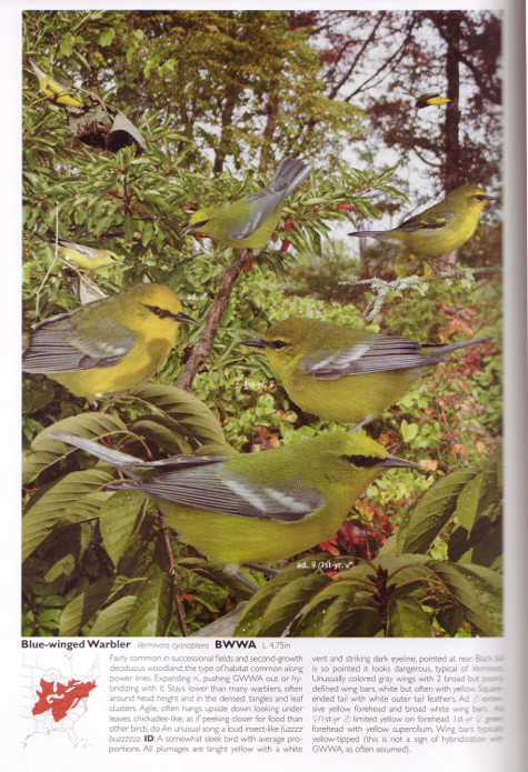 Blue-winged Warbler account from The Crossley ID Guide: Eastern Birds