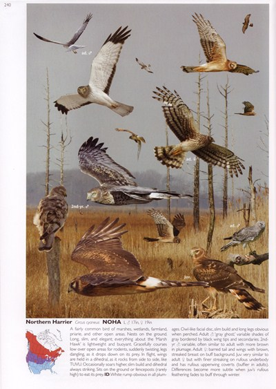 Northern Harrier from The Crossley ID Guide: Eastern Birds