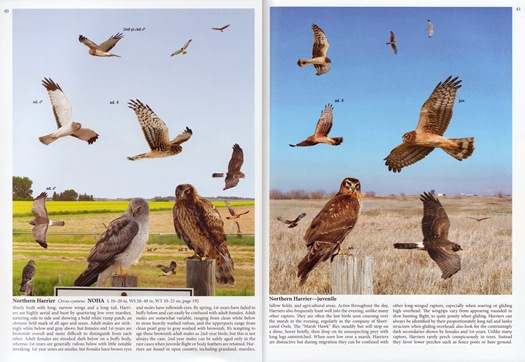 Northern Harrier from The Crossley ID Guide: Raptors