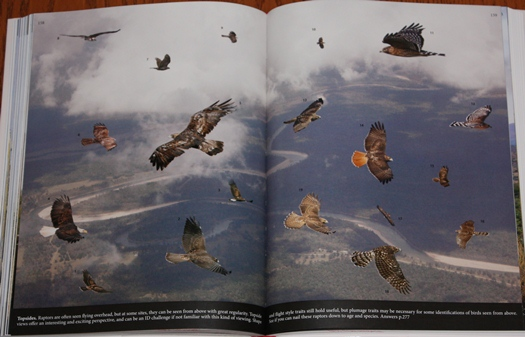 Mystery plate from The Crossley ID Guide: Raptors
