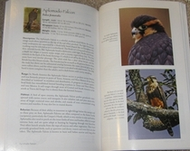 sample species account from Falcons of North America