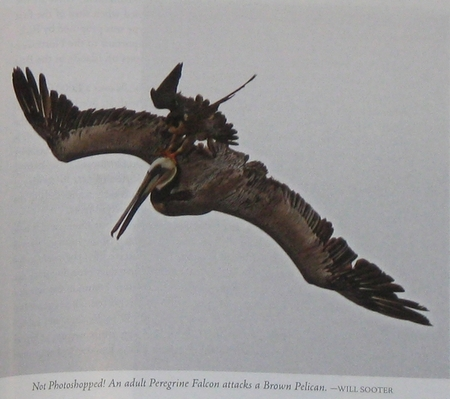 a Peregrine Falcon attacking a Brown Pelican, from Falcons of North America