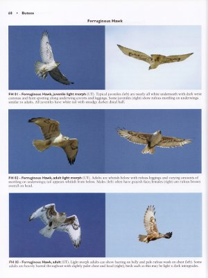 Ferruginous Hawk from Hawks from Every Angle