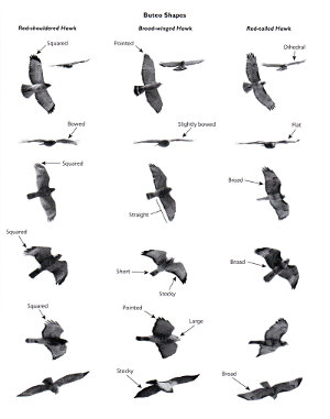 Sample shapes plate from Hawks from Every Angle