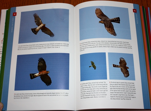 Sharp-shinned Hawk photos from Hawks in Flight: Second Edition