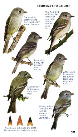 Sample empidonax flycatcher from Kaufman Field Guide to Advanced Birding