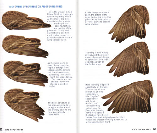 Opening bird wing from Kaufman Field Guide to Advanced Birding