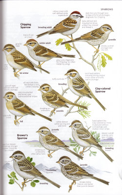 Spizella sparrows from National Geographic Field Guide to the Birds of North America, Sixth Edition