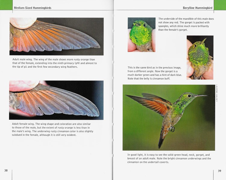 Berylline Hummingbird from North American Hummingbirds: An Identification Guide
