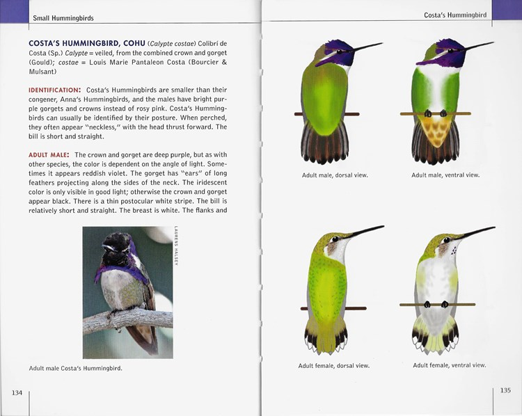 Costa's Hummingbird from North American Hummingbirds: An Identification Guide