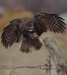 Great Gray Owl from The Owl and the Woodpecker