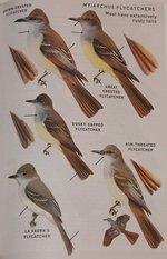 Myiarchus flycatcher plate from the Peterson guide