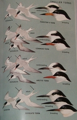 Tern plate from the Peterson guide