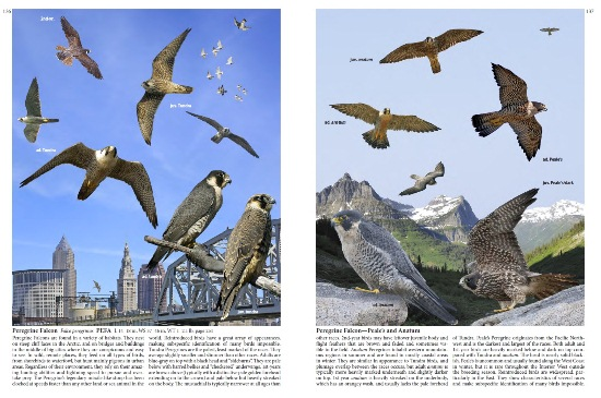 Peregrine Falcon from The Crossley ID Guide: Raptors