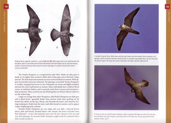 Peregrine Falcon from Hawks in Flight: Second Edition