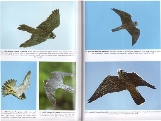 Peregrine Falcon from A Photographic Guide to North American Raptors