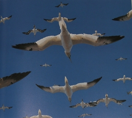 Northern Gannet photo from Remarkable Birds