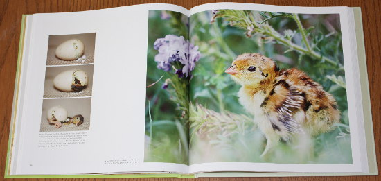 Attwater's Prairie-chicken chick from Save the Last Dance: A Story of North American Grassland Grouse