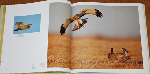 Northern Harrier diving on a Greater Prairie-chicken from Save the Last Dance: A Story of North American Grassland Grouse