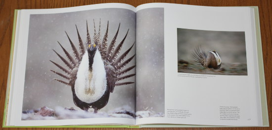 Greater Sage-grouse from Save the Last Dance: A Story of North American Grassland Grouse