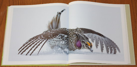 Sharp-tailed Grouse from Save the Last Dance: A Story of North American Grassland Grouse