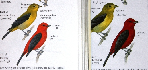 Comparison of Scarlet Tanagers between The Sibley Guide to Birds first and second editions