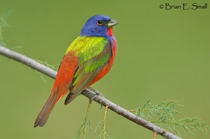 Painted Bunting from Birds of Eastern / Western North America: A Photographic Guide