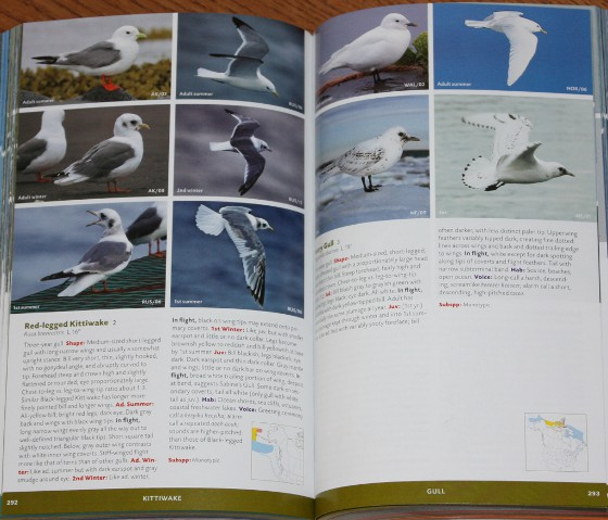 Sample gulls from Stokes Field Guide to the Birds of North America