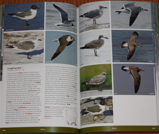 Laughing Gull from Stokes Field Guide to the Birds of North America