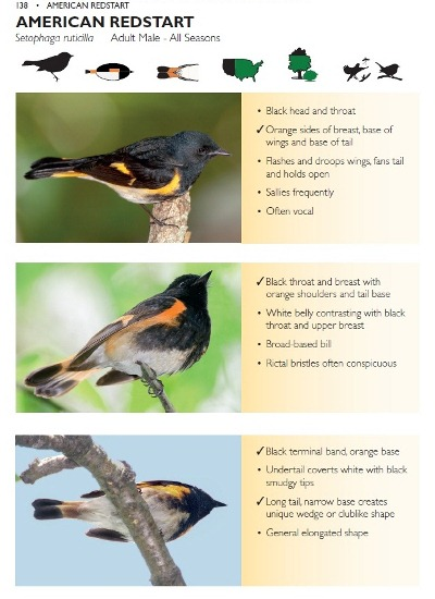 American Redstart species account from The Warbler Guide