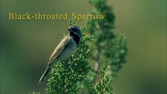 Black-throated Sparrow from Watching Sparrows DVD