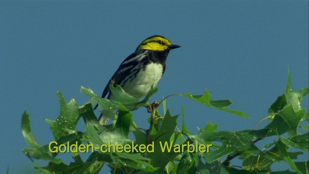 Golden-cheeked Warbler from Watching Warblers DVD