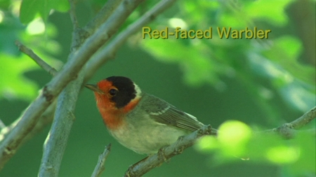 Red-faced Warbler from Watching Warblers DVD