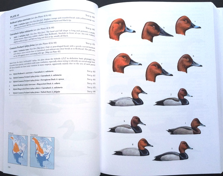Heads and hybrids from Waterfowl of North America, Europe, and Asia: An Identification Guide
