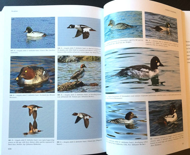 Sample from Waterfowl of North America, Europe, and Asia: An Identification Guide