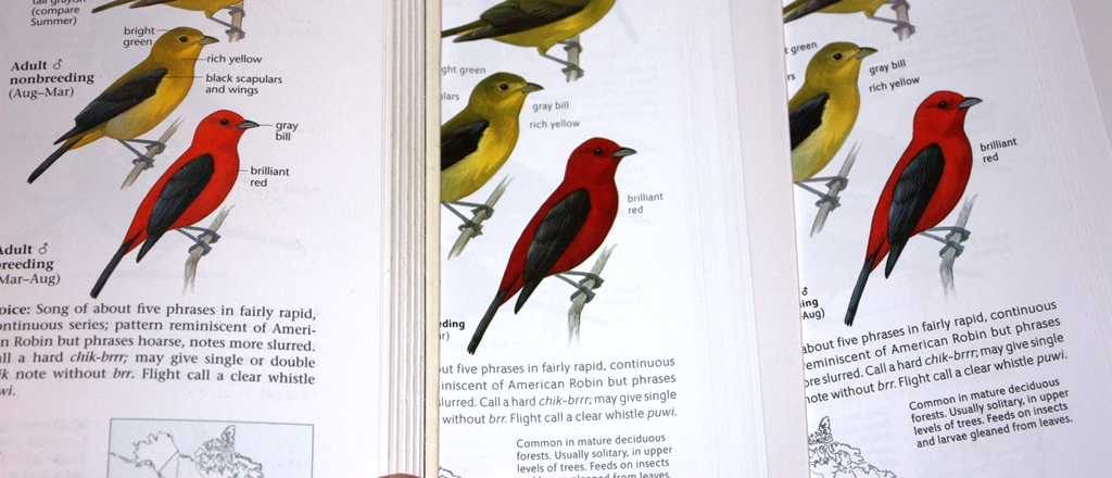 Scarlet Tanager comparison between Sibley Guides