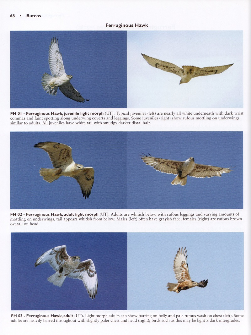Craftsman Style Home Decorating Ideas: Review: Hawks From Every Angle: How To Identify Raptors In